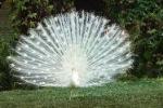 Exposing for an albino peacock