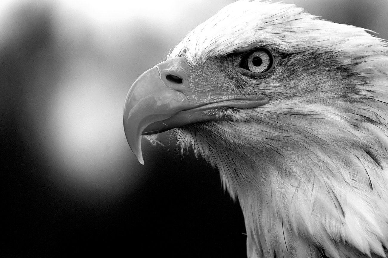 Bald eagle mrshutterbug photography
