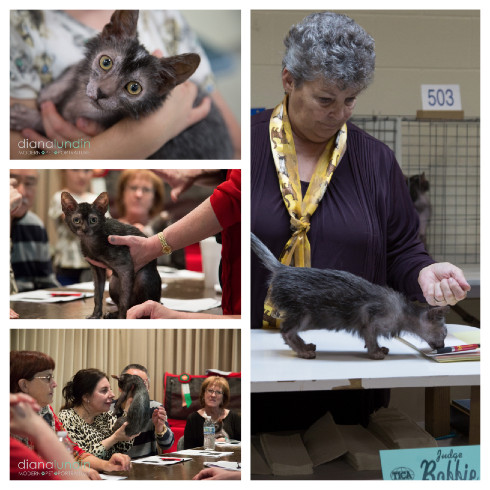 collage of images of lykoi or werewolf cats at Kat Knappers Cat Show